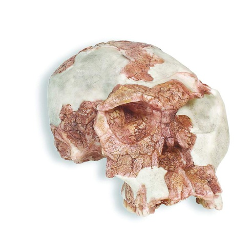 © Skulls Unlimited International, Inc.